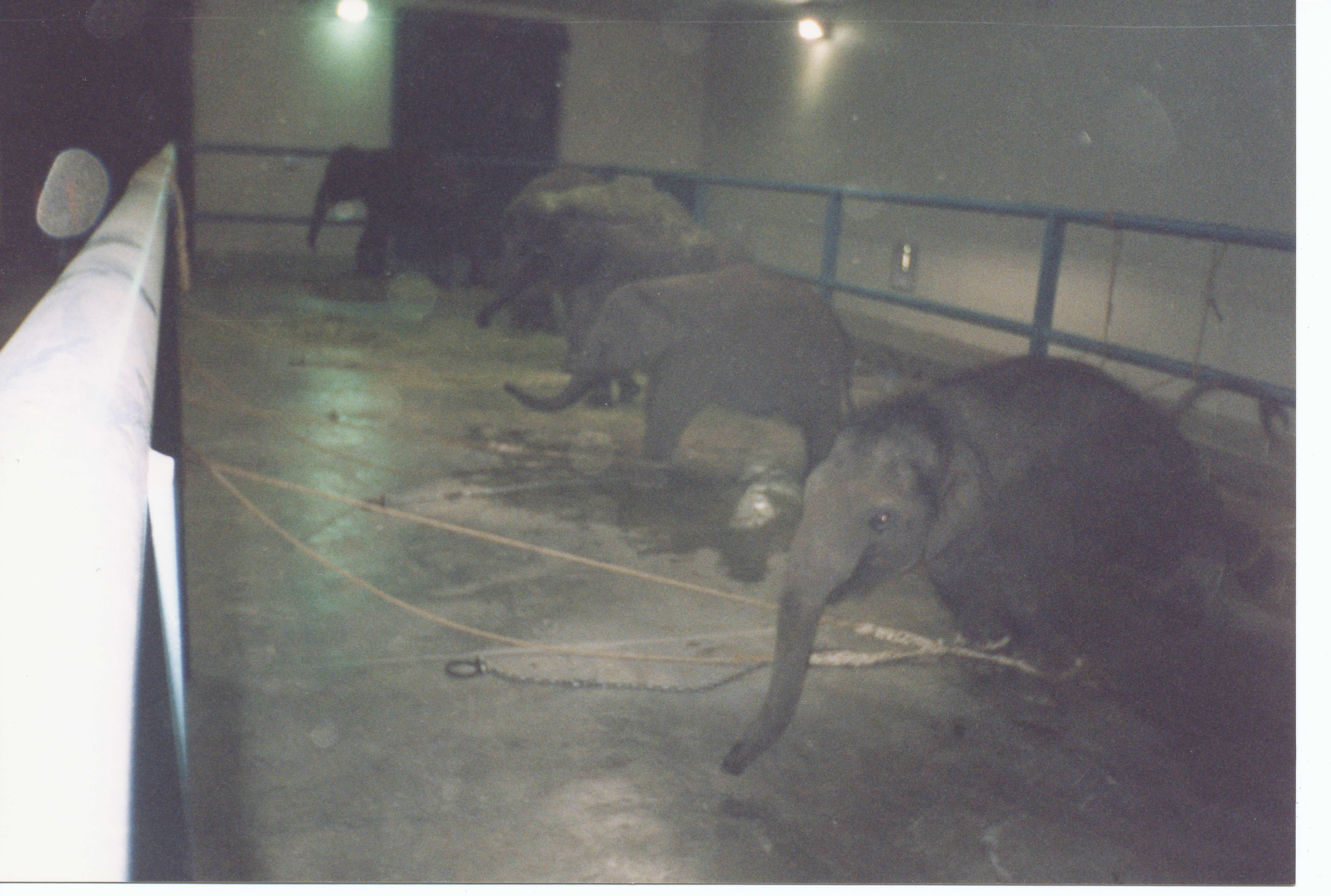 baby elephants chained indoors