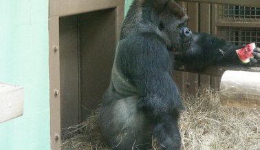 El último gorila de México muere durante su preparación para enviarlo a otro zoológico