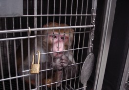 Air France Ships Abused Monkeys to Laboratories