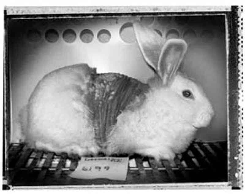 Conejo Experimento 1988