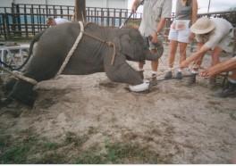 Las 5 razones más impactantes por las que debes evitar circos que usan elefantes
