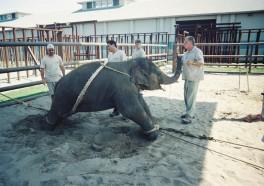 Elefantes bebé, atados y humillados: Cómo entrena Ringling a los elefantes