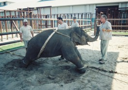 Baby Elephants, Bound and Broken: How Ringling Trains Elephants