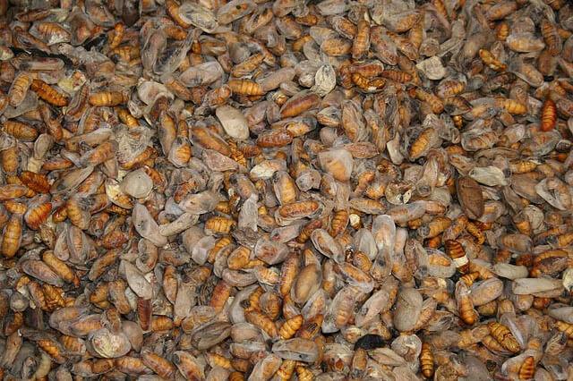 Silkworm graveyard