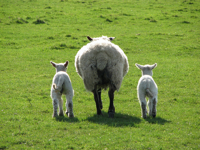 baby sheep with mom on field