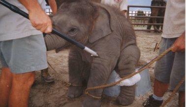 El elefante Kenny aún era un bebé cuando murió en Ringling