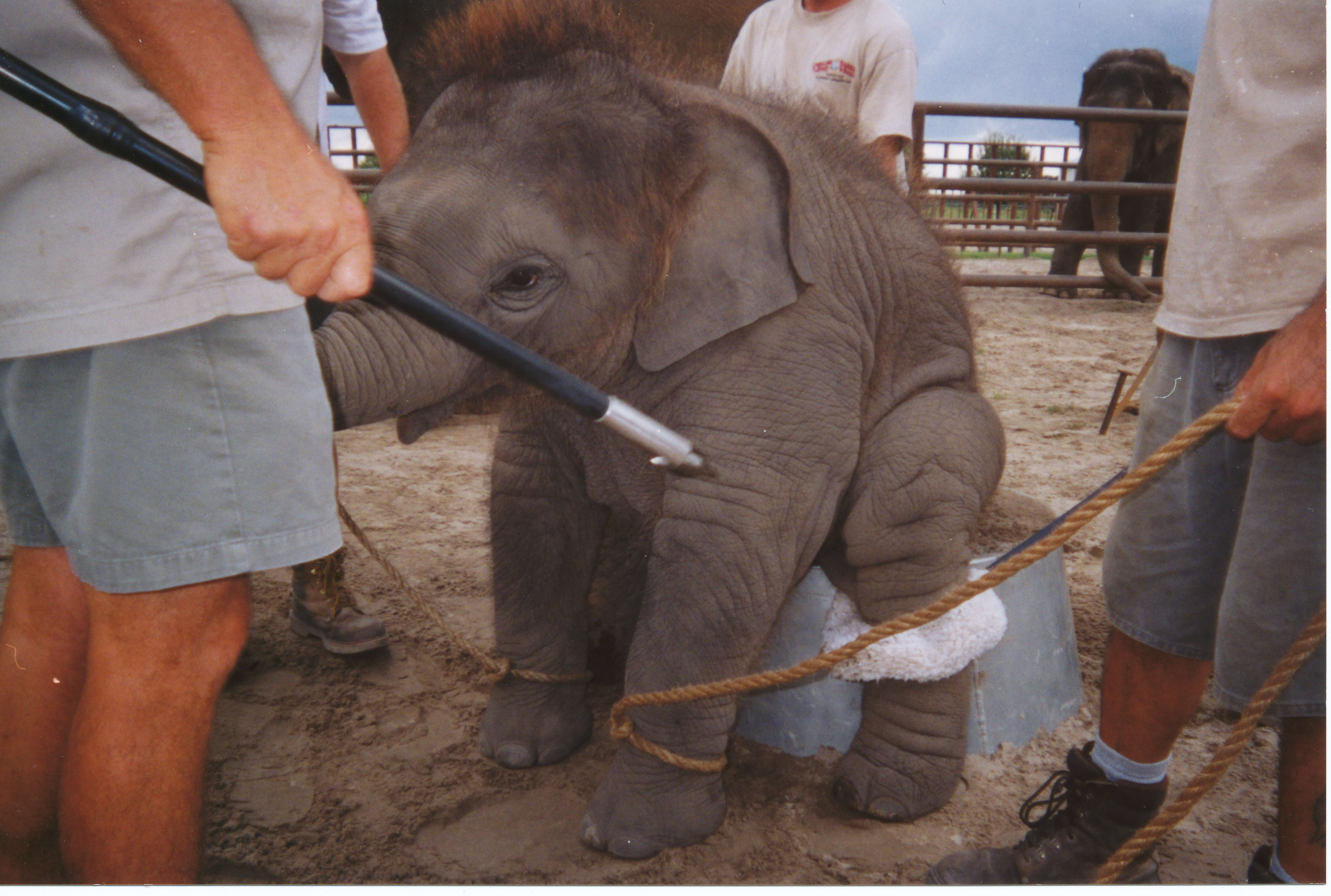 baby elephants being trained to sit up on a tub