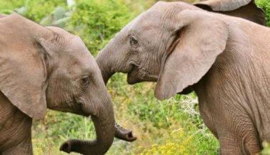 Los elefantes comienzan este 2018 de manera increíble ¡China prohibió las ventas de marfil!