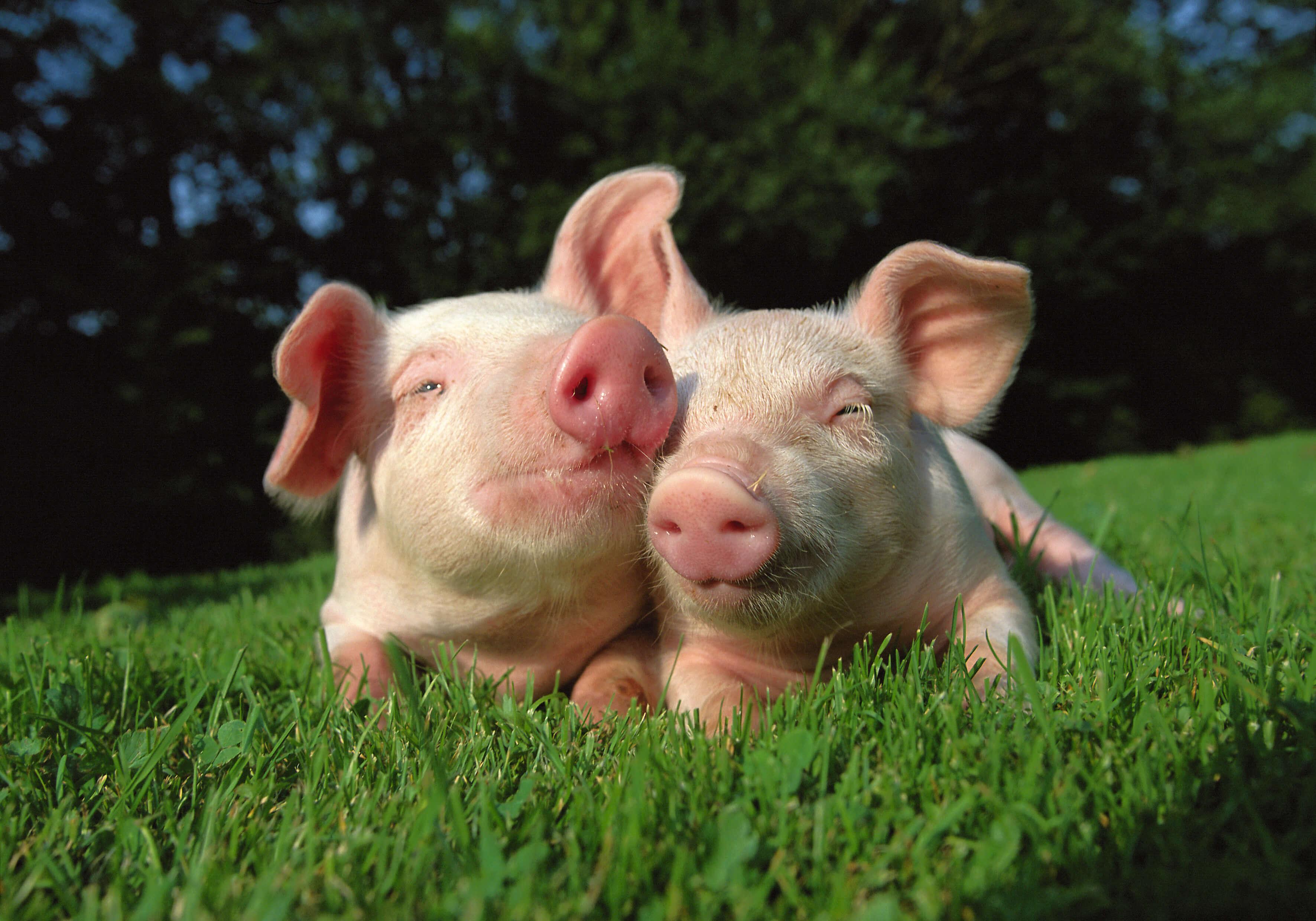 cute happy pigs