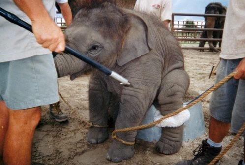 ST-BABY ELEPHANT