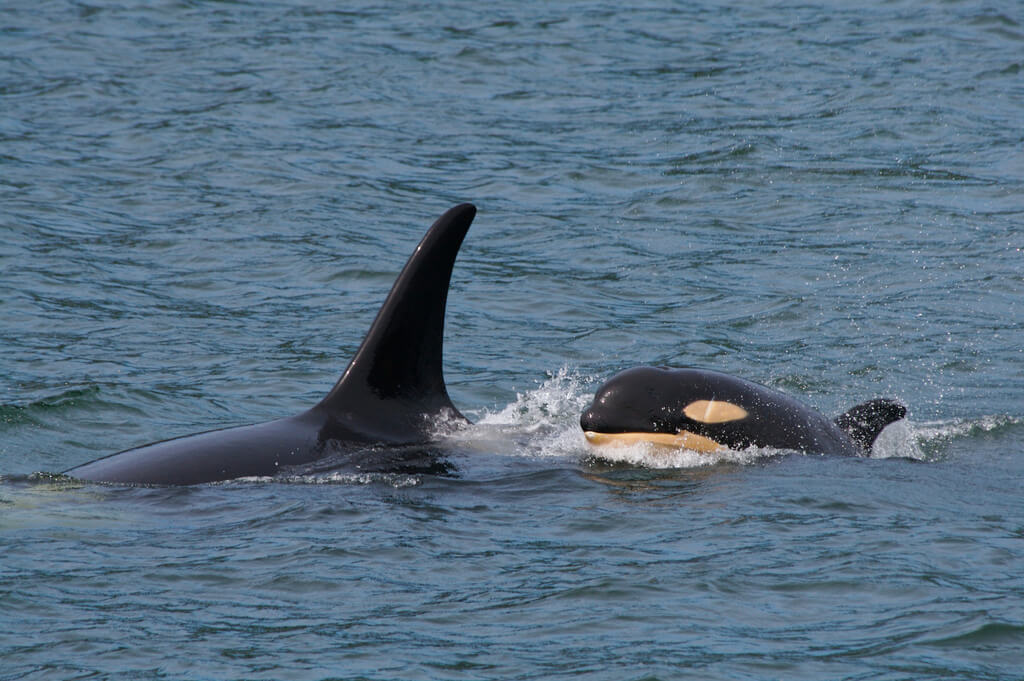Orca mother and calf in nature