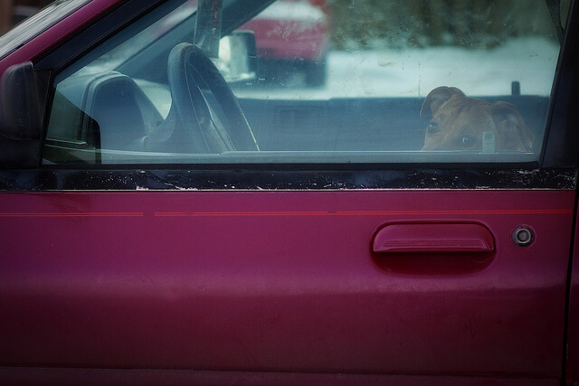dog in car looking out window