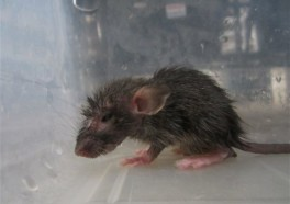 PETA Helps Bust Alleged Rat, Mouse Torturer