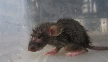 PETA Ayuda a Detener a Supuesto Torturador de Ratones