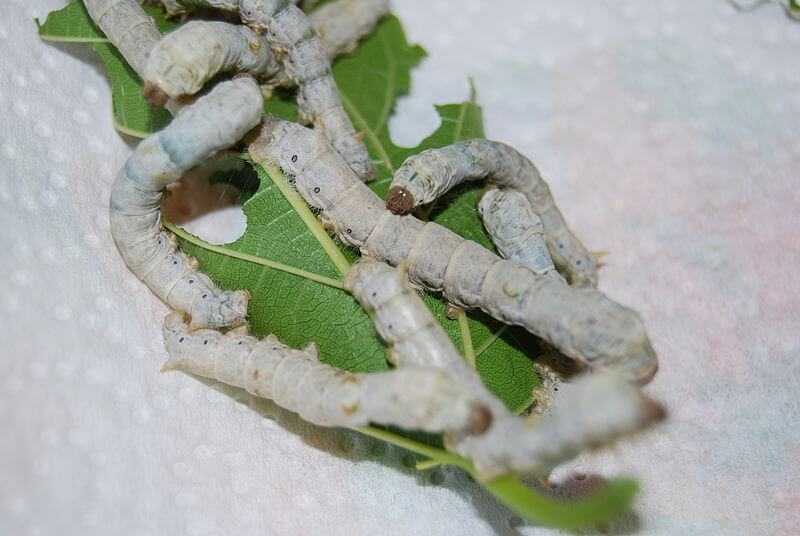 Instar Larvae