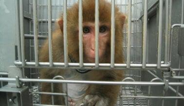 ¿Cómo llegan los monos a los laboratorios? Mira las inquietantes fotos