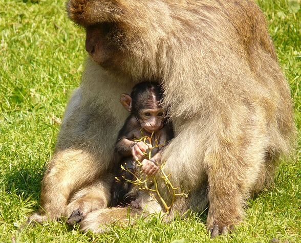 Happy mother monkey and baby-20