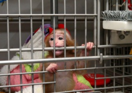 BREAKING: NIH Ending Baby Monkey Experiments