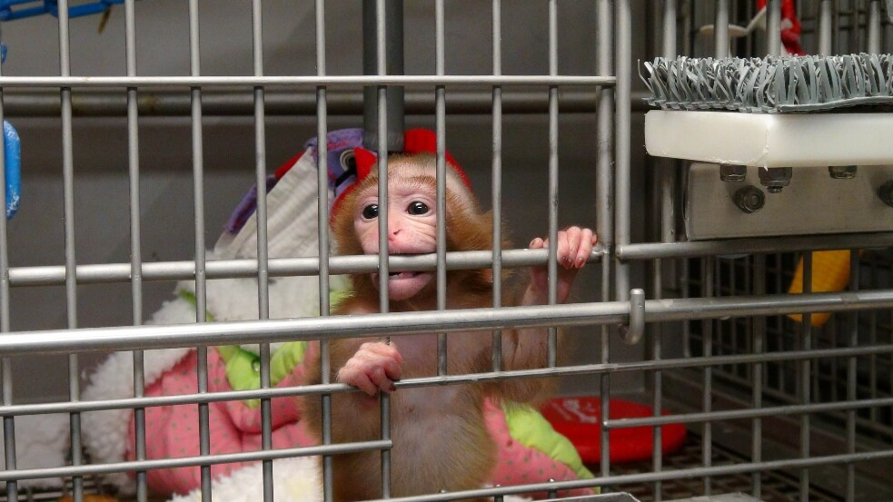 Baby-Monkey-Alone-in-Cage- NIH