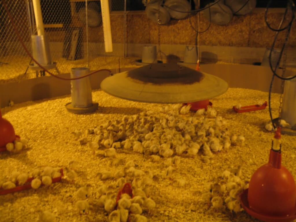 Baby chicks in hatchery