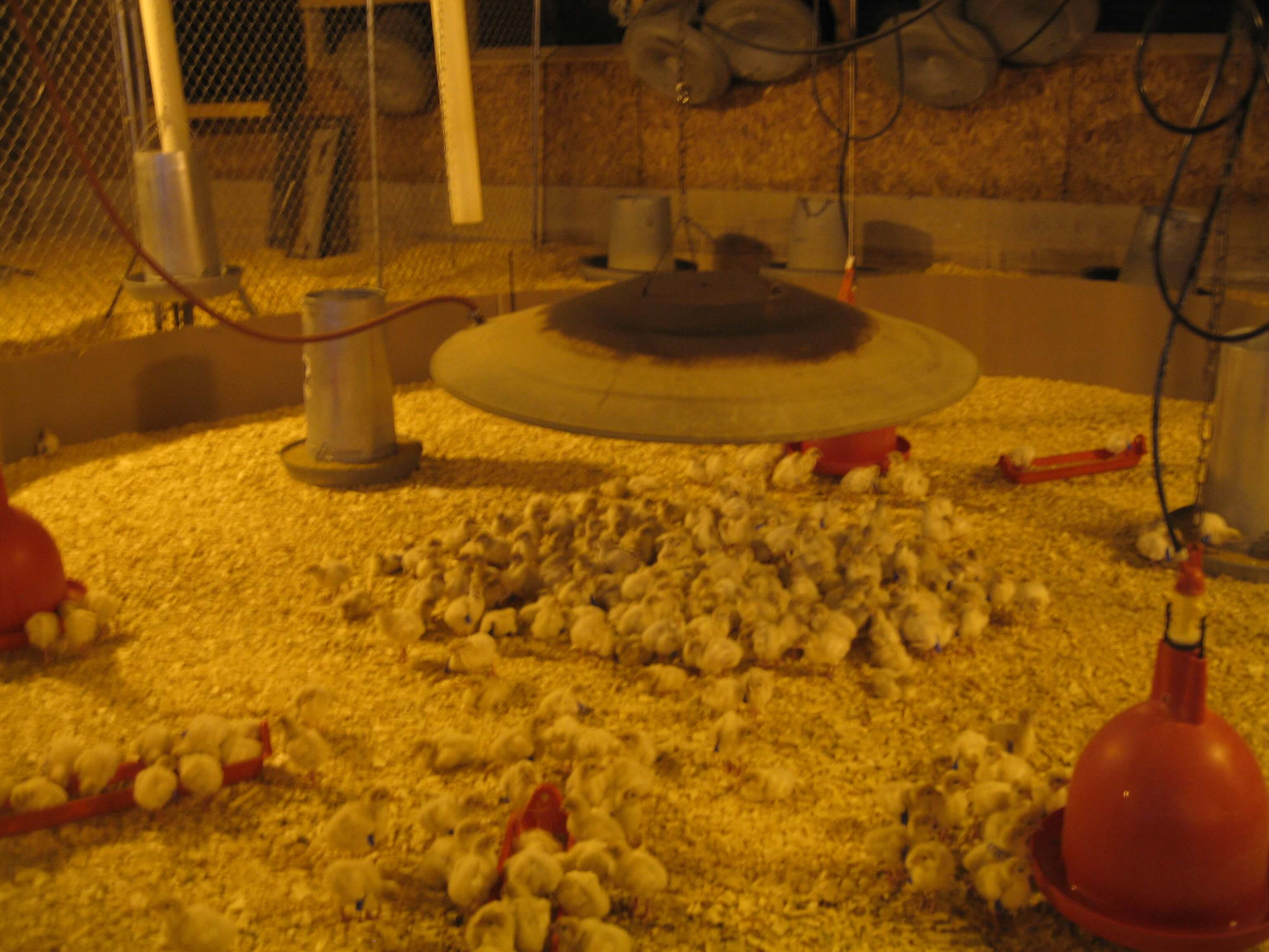 Baby chicks under heat lamp