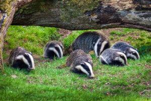 Grupo de badgers en la naturaleza