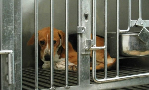 Beagle-cowering-in-cage-@-Iams_cropped-602x364