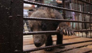 Nuevo Reporte Sugiere que una Osa en Este Zoológico de Carretera Puede Haber Sufrido de Manera Atroz Durante Años