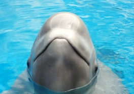 Months After Her Baby Dies, Beluga Dies Suddenly at Georgia Aquarium
