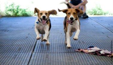 Tras años de presión de PETA, Japón pone fin a las pruebas de intoxicación en perros