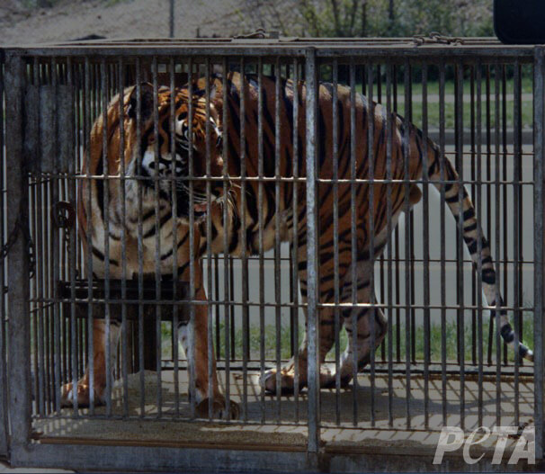 Caged-Adult-Tiger