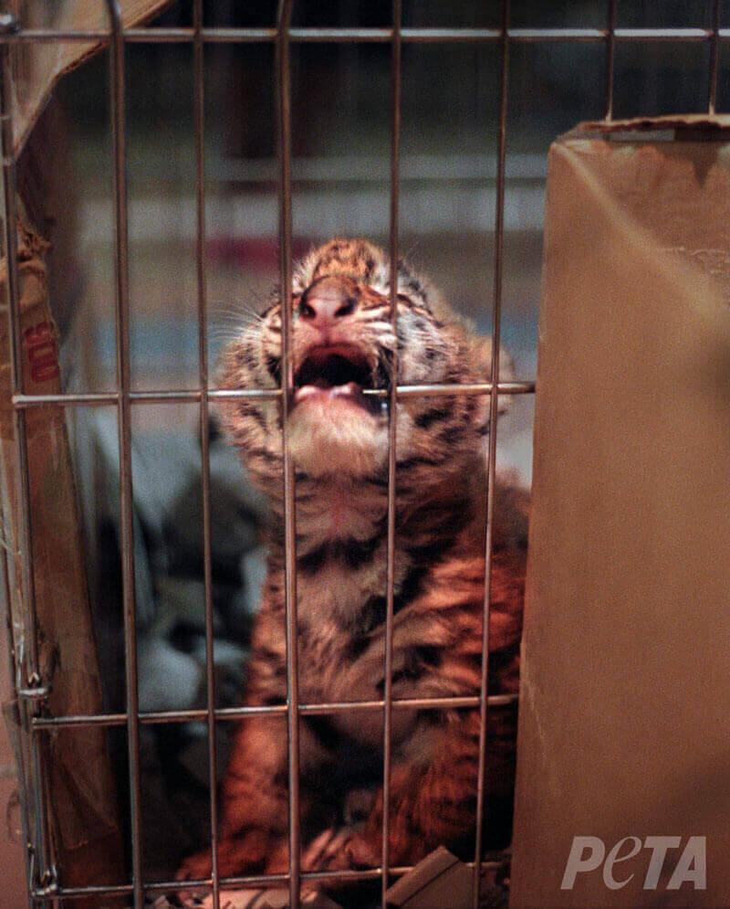 Bebe tigre enjaulado