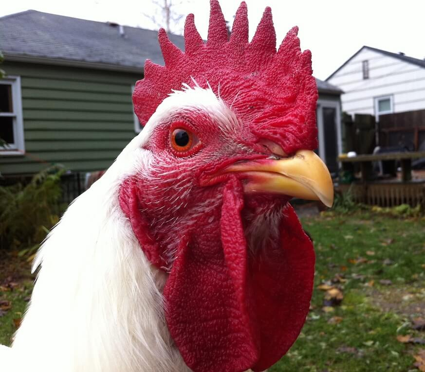 Champion-Chicken-Winner