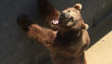 Los osos necesitan que le digas al USDA que prohíban las fosas de osos ya