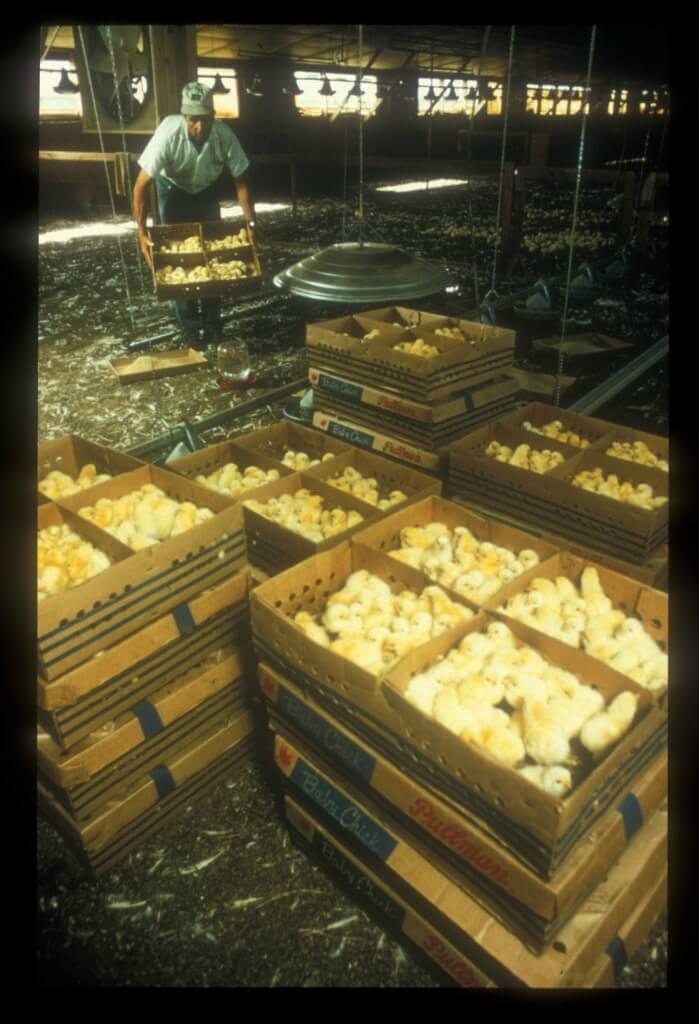 Chicks on an egg farm