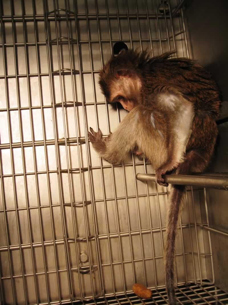 mono enjaulado en UW
