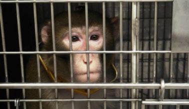 Monos quemados, drogados y desangrados hasta la muerte en el Centro de Primates de Oregón