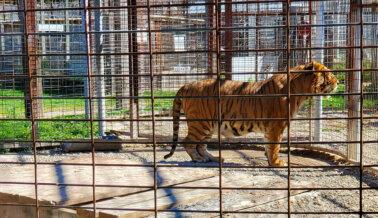 Animal Haven Zoo es un Infierno Para los Tigres