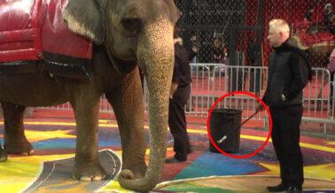 Circo Carden: ¡Los Elefantes y Tigres no son Utilería de Circo!