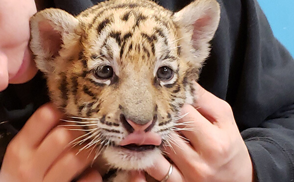 A tiger cub being held at GW Zoo