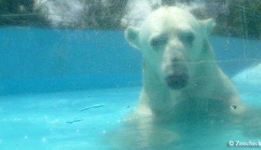 El Cautiverio Mata y Ahora la Solitaria Osa Polar en un Zoológico de México está Muerta