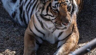 ¡Dile a Triple Five que los Tigres No Deben Estar en sus Estacionamientos!