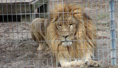 Al León Simba y a la Jirafa Jambo los Tienen en Confinamiento Solitario – ¡Actúa Ahora!