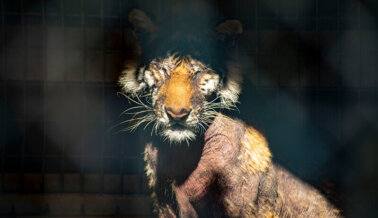 El USDA Intentó Mantener sus Incumplimientos en Secreto y PETA Contribuyó a Obligarlo a ser Transparente