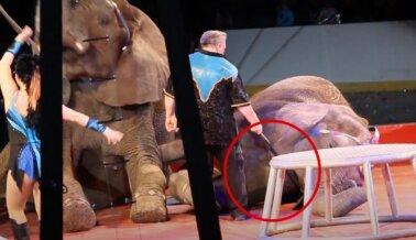 Elefantes Amenazados con Bullhooks y Tigres Azotados en Este Circo
