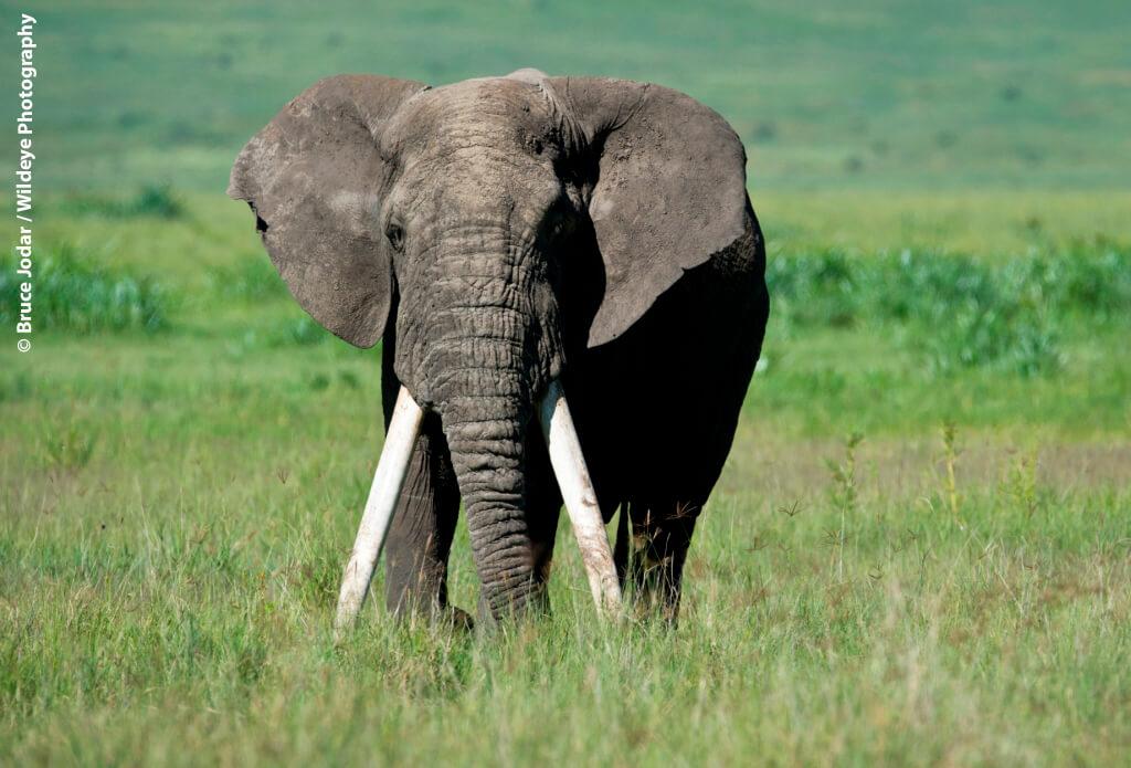 Elephant-in-Grass