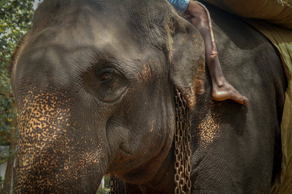 elefante forzada a dar paseos