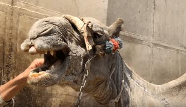 Caballos Azotados y Camellos Golpeados Por Paseos Para Turistas