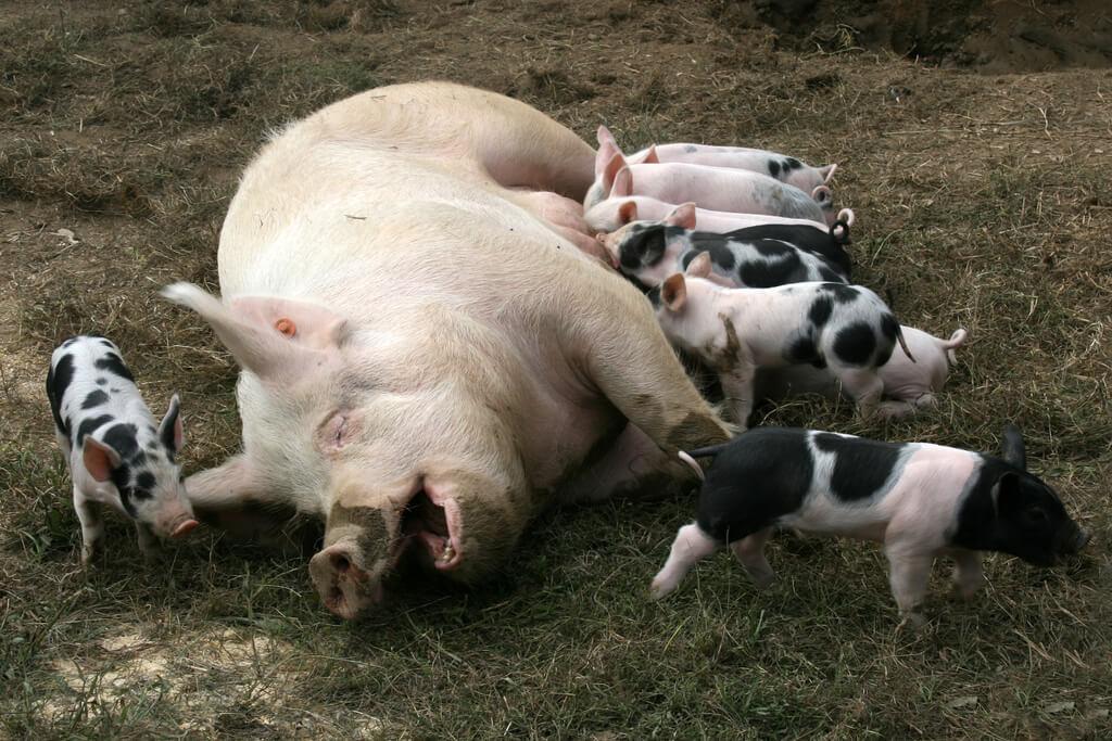 Flickr grateful pig mom nursing her babies