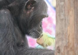 Después de años de maltrato, esta chimpancé encuentra alegría en muñecos de troll